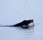 Walvis in nood gespot bij Petten