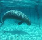 Geschokte duikers stuiten op twee gevangen Dugons in kooien