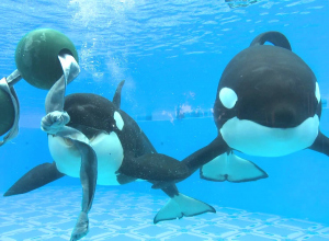 Seaworld stopt met het fokken van orca's