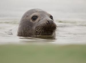 Weer zeehond in Bergse Diepsluis. Herhaalde waarnemingen van duikers