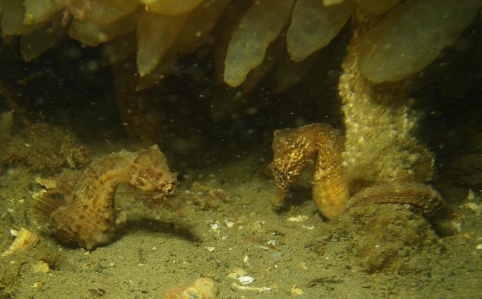 Paring zeepaardjes gefilmd bij Zeelandbrug