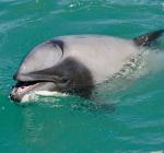 Dolfijn met beschadigd spuitgat ademt door mond