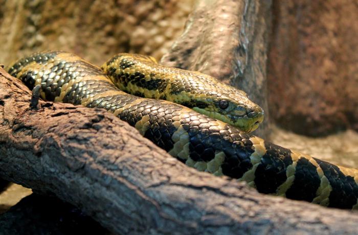 Gele anaconda gevangen in Duits meer