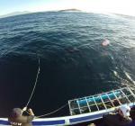 Haai bijt luchtslang door en dringt in kooi