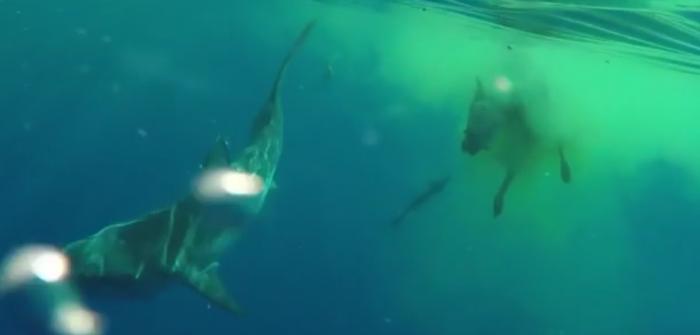 Tijgerhaai voedt zich met koe midden op zee