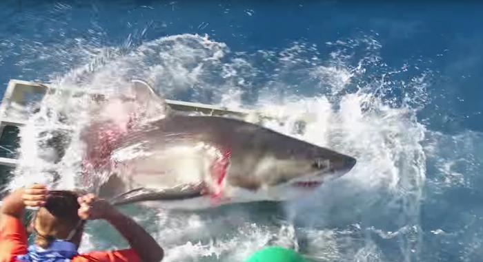 Schokkend..! Nieuwe beelden van haai die in duikerskooi dringt