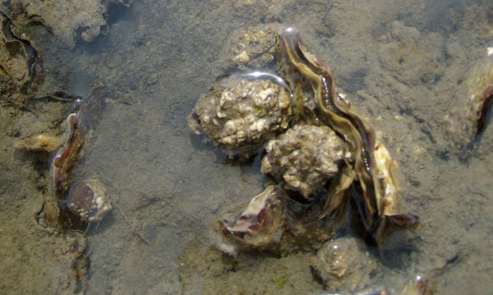 Wilde oester terug in Zeeuwse delta. Juichstemming bij onderzoekers