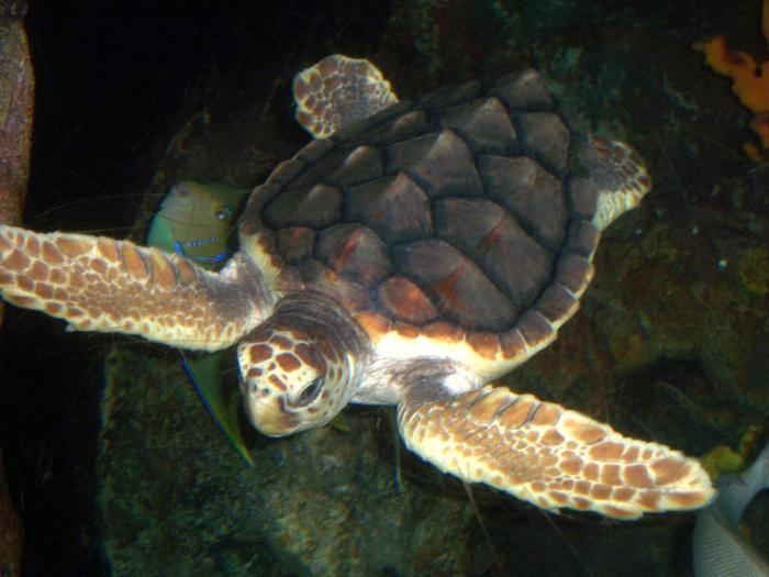 Twee schildpadden krijgen hun vrijheid terug bij Gnerja Bay, Malta