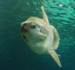 Mola mola gespot voor Belgische kust