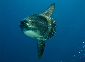 Mola Mola aangespoeld op Noordzeestrand Renesse