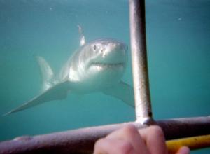 Voice over noemt het een 'gevaarlijke haaien-aanval'. Schande!