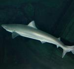 Ruwe haai spoelt aan bij Noordwijk