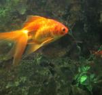 Veenendaler moet 280 uitgezette goudvissen weer uit de gracht halen