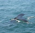 Walvis voor de Belgische kust
