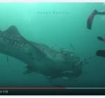 Walvishaai verbaast duikers compleet