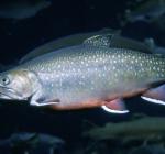 Duizend kilo vis uitgezet in Oostvoornse Meer