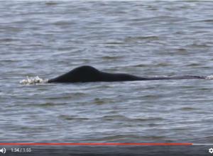 Beelden zeldzame Groenlandse walvis bij Oostende