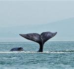 Zeldzame groenlandse walvis voor kust Oostende
