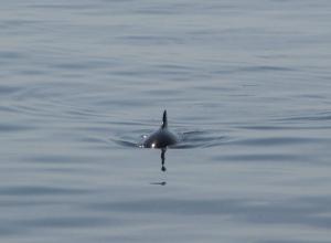 Duikers spotten bruinvis bij Zoetersbout