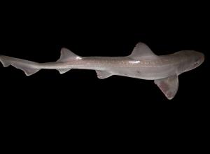 Onderzoek wijst uit Oosterschelde kraamkamer haaien