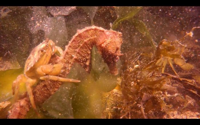 Krab valt zeepaardje aan. Hoe loopt dit af?