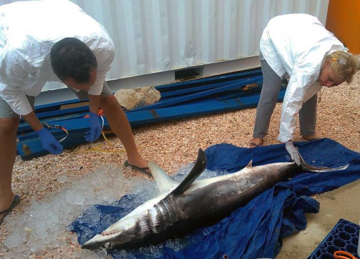 Makreelhaai aangespoeld in Bonaire