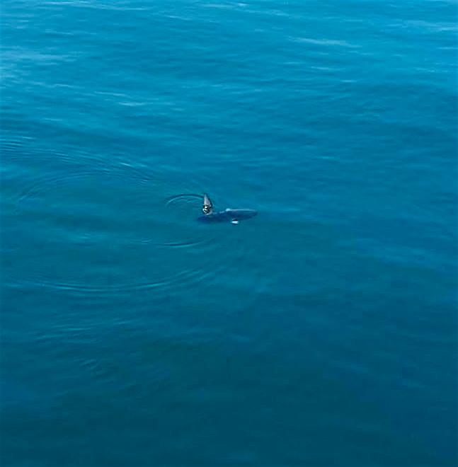 Mola Mola gespot in de Noordzee