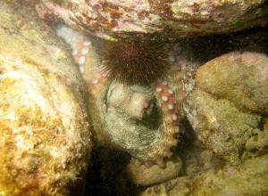 Octopus gespot in de Oosterschelde