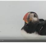 Papegaaiduiker Ecomare maakt het goed