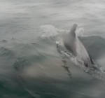Groep dolfijnen bij Zuiderstrand Den Haag