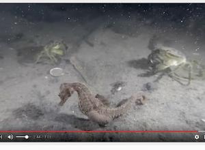 Zeepaardje ontsnapt aan krab