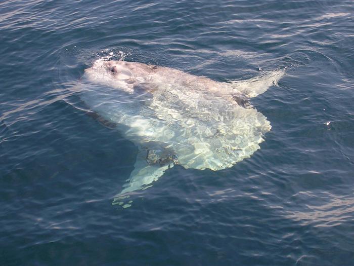 Maanvis aangespoeld bij Colijnsplaat
