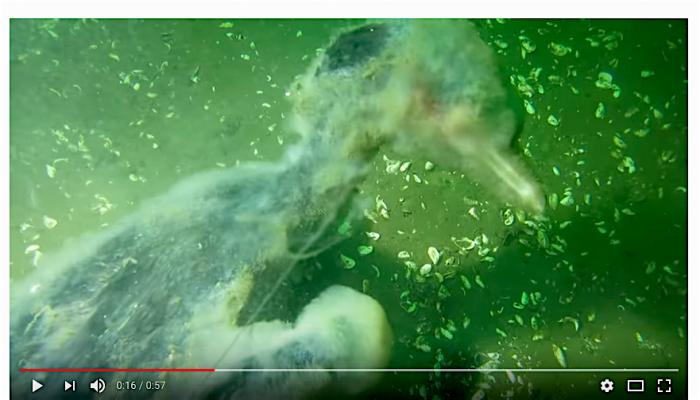 Duikers vinden aalscholver verstrikt in vislijn