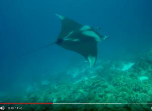 Enorme manta gespot bij 1000 steps in Bonaire