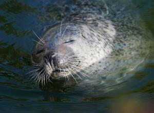 Zeehond leeft al jaren in kanaal bij Walcheren