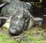 When a crocodile bites an electric eel