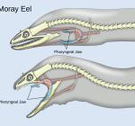 Diver loses thumb to moray eel