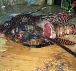 Sick Lionfish Bonaire worldwide phenomenon. Is there hope?