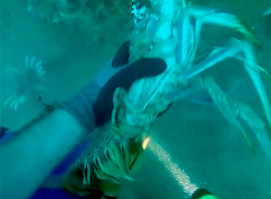 The sting of a lionfish at 150 feet