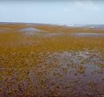 Sargassum wier overspoelt Carribbische eilanden