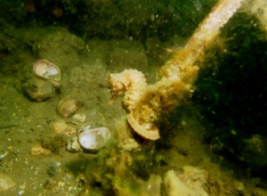 Zeepaardje gezien in de Oosterschelde