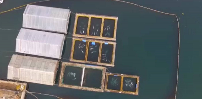 'Whale jail'. 101 captured Orcas and Belugas are suffering in Russia