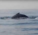 Bultrug walvis voor de kust van Texel