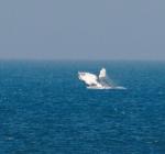 Opnieuw bultrug walvis bij Texel