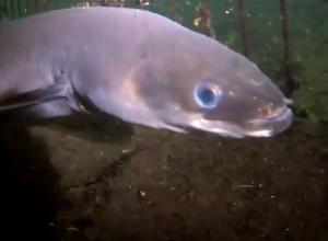 Wat is de dikste paling die jij ooit zag?