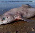 Gladde haai van 2 meter aangespoeld in Zandvoort
