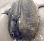 Maanvis aangetroffen op strand Terschelling