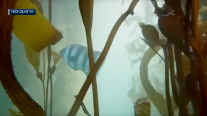 Tsunami carries exotic Japanese fish to Monterey, USA