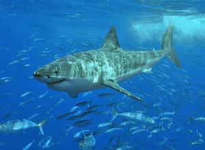 Witte haai kan helpen in strijd tegen kanker