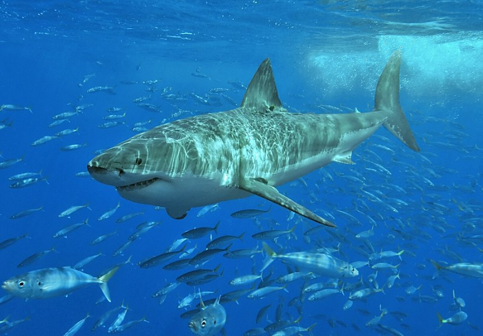 Great white shark can help in fight against cancer